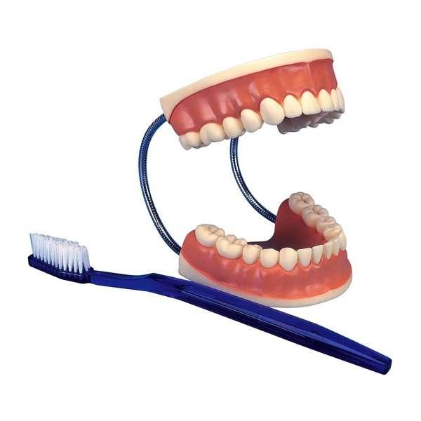 مولاژ دندان اندازه طبیعی